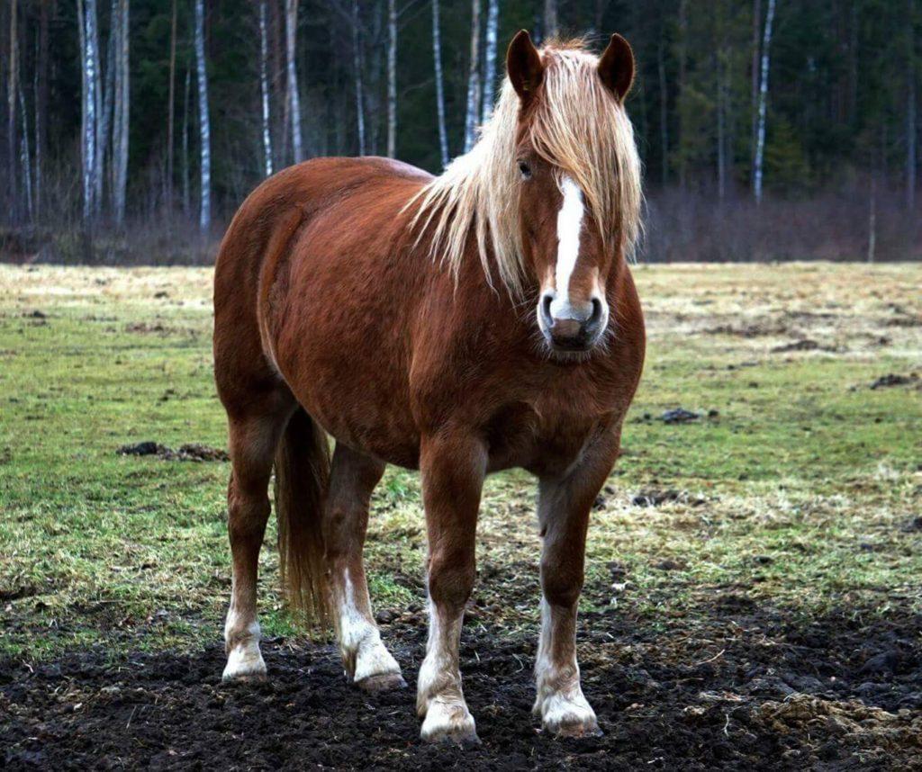eesti raskeveohobune