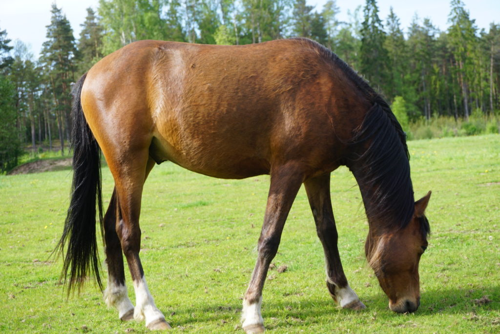 estonian riding pony